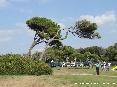 Baratti, Piombino (LI) - Vecchi pini marittimi piegati dal tempo e dal vento di mare