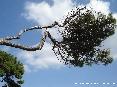 Baratti, Piombino (LI) - La scarna chioma di un caratteristico pino