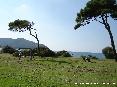 Baratti, Piombino (LI) - Un pino si staglia sullo sfondo del paese di Populonia
