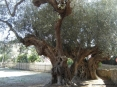 Bolgheri (LI) - Un ulivo secolare