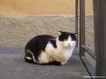 Castagneto Carducci (LI) - Un bel gatto ci osserva sornione in una viuzza del borgo