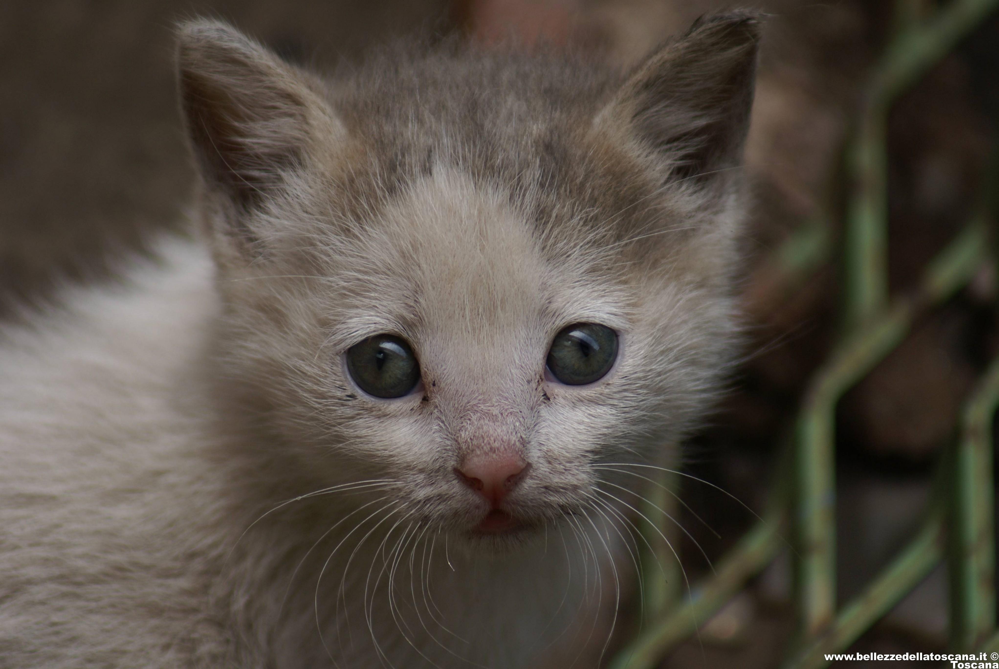 Fotografia di gatti toscani 279 bellezze della toscana for Gatti con occhi diversi