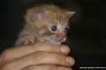 Gatti toscani - Occhi blu e pelo rosso un gattino fa capolino dalle mani di una persona - Fotografia Piombino gatto micio Toscana