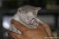 Gatti toscani - La gattina Camilla coccolata fra le mani di una persona - Fotografia Piombino gatto micio Toscana