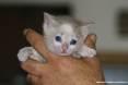 Gatti toscani - Camilla fa capolino fra le dita di una mano con i suoi occhioni blu - Fotografia gatto micio Toscana