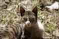 Gatti toscani - Sguardo attento di una gatta - Fotografia Piombino gatto micio Toscana