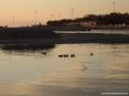 Marina di Cecina (Cecina Mare) (LI) - Dal fiume si spingono fino alla foce tante uccelli acquatici come i germani