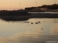 Marina di Cecina (Cecina Mare) (LI) - Non è difficile immortalare qualche gruppo di germani che nuotano nelle acque del fiume