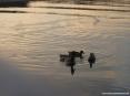 Marina di Cecina (Cecina Mare) (LI) - I numerosi uccelli acquatici nuotano silenziosamente scivolando sull