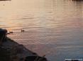 Marina di Cecina (Cecina Mare) (LI) - Sulle sponde del fiume qualche pescatore sistema le reti da pesca metre i germani curiosi nuotano uno a fianco all