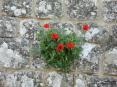 Monterchi (AR) - Una pianta di papavero spunta tra le pietre di un antico muro.